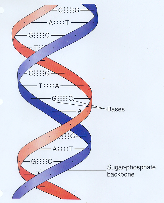 the discovery and advancements in the science of the double helical structure of dna Watson, who was in 2007 suspended from his research position for making sexist and racist comments, dismissed franklin's contributions to the discovery of dna's structure in his memoir the double.